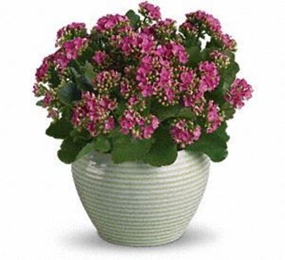 "Picture of P-002 ""Bountiful  Kalanchoe """